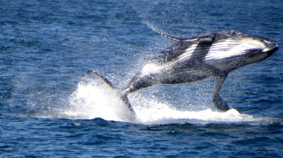 Baby Breeching Humpback