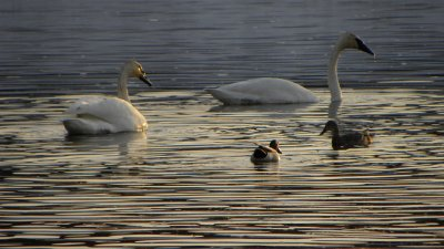 Ducks and Swans at Feeding Time