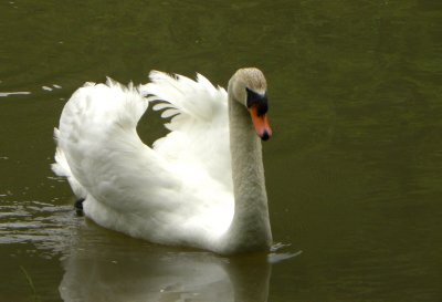 Swan In Heat