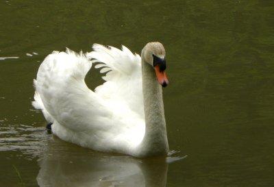 Swan In Heat