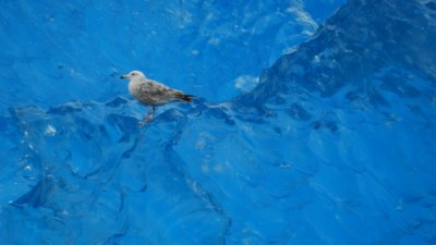 Seagull on Blue