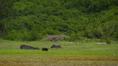 Brown Bear Forage