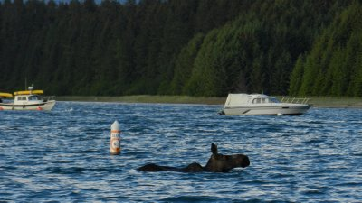 "A Moose Obeying ""The No Wake Zone"""