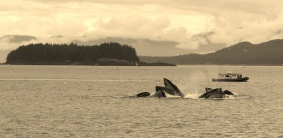 Humpback Feeding and Seascape