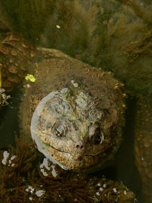 The Smiling Face of Snapping Turtle