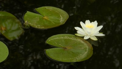 White Lily and Pads