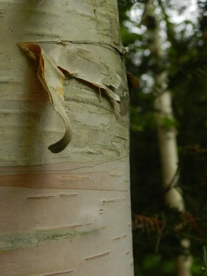 Birch Bark and Soft Shadow