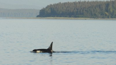 Orca Whale and Placid Water