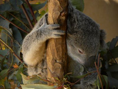 Koala Bear Asleep