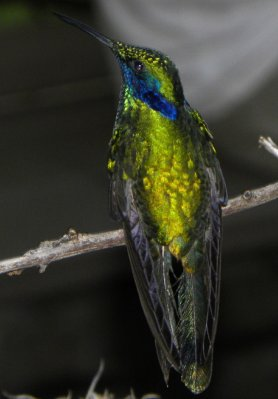 The Sparkling Violetear