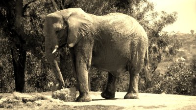 Elephant in Sepia
