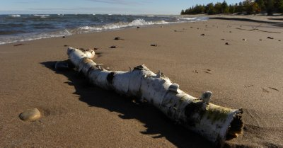 Washed Up Birch Log