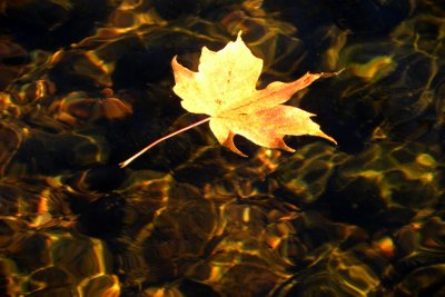 Maple Leaf on the River