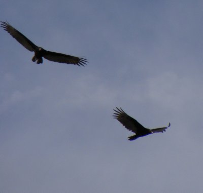 Turkey Vultures soaring