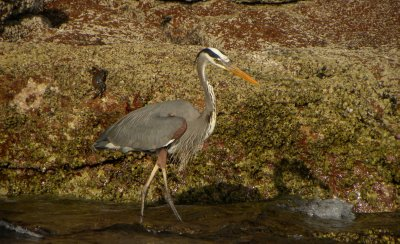 Great Blue Heron and Blue Crab