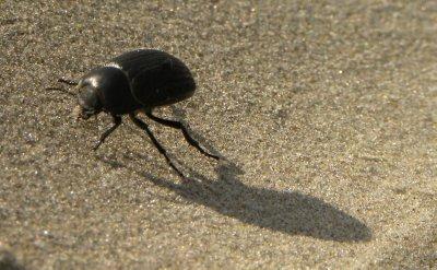 Desert Beetle