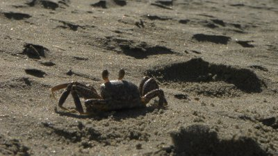 Sand Crab of Somesort