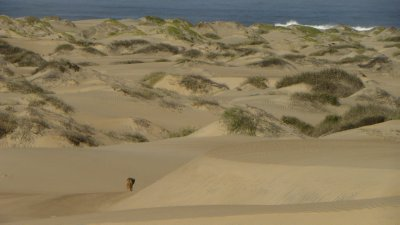 Coyote and sand dunes of isla magdalena