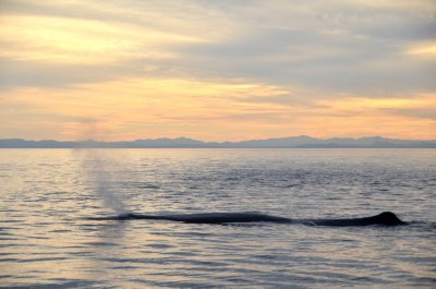 Sperm Whale Sunset