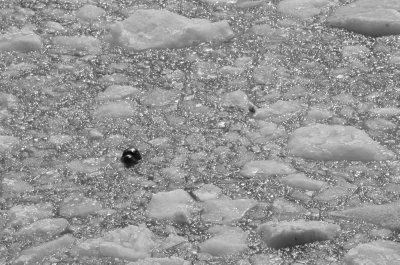Harbor Seal in Ice