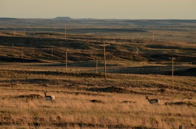 Antelope In Evening Light