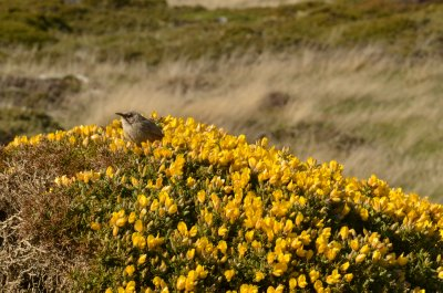 Birdsong in the Gorse