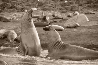 Bull Elephant Seals Fighting