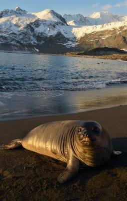 Elephant Seal Pup on the Beach