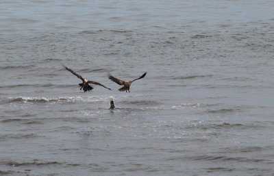 Eagle and Gull 8