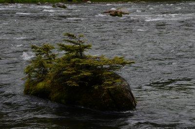 Zen Pines