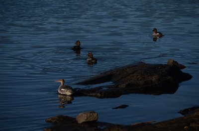 Golden Eye Ducks