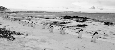 Penguin Line