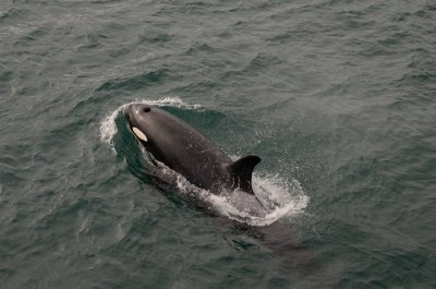 Orca Calf Detail
