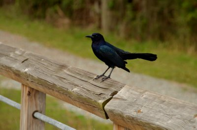 Male Grackle