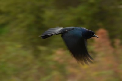 Grackle Flight!