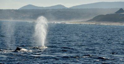 Humpback Whale Spout