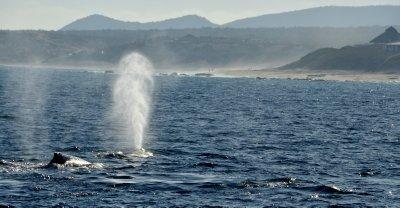 Humpback Whale Spout