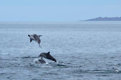 Dolphin Acrobatics