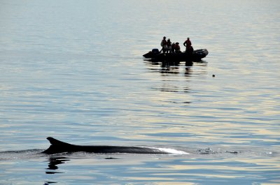 Fin Whale and Watchers