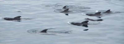 A Pilot Whale Pod