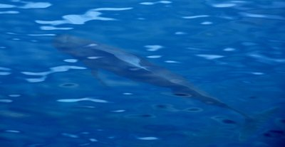 Pilot Whale in Blue