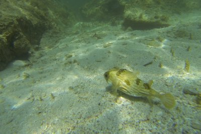 Puffer Fish on Sand