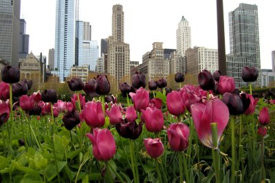Tulips and Cityscape