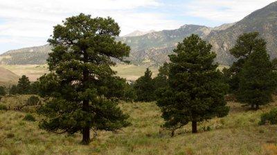 Pine Meadow