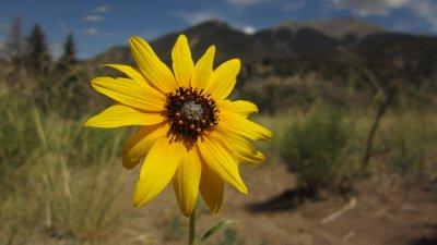 Prairie Sun Flower