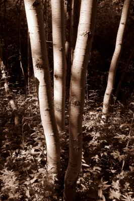 A Boquet of Aspen