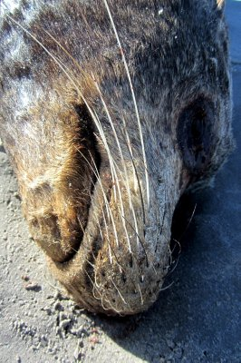 Sea Lion Death Mask