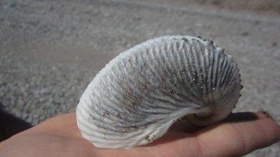 A Paper Nautilus