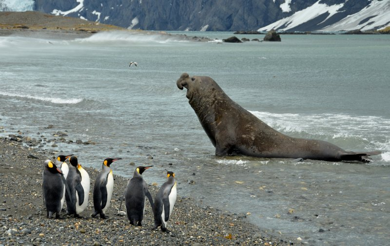 King Penguins and Bull Elephant Seal