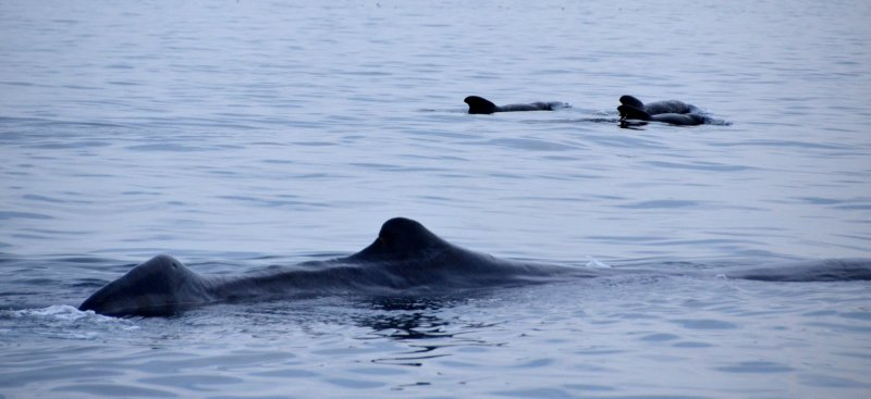 Male Sperm WHale and Pilot Whales